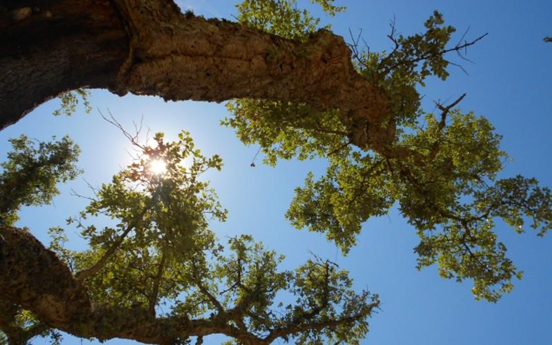 Plátipo a plátipo, ajudamos a salvar a floresta de montado de sobro