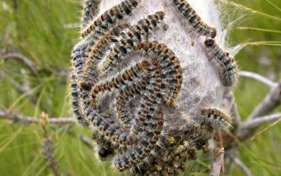 Investigadores descobrem fungo capaz de combater a lagarta do pinheiro