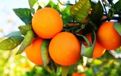 Alerta nos citrinos: elevado risco de ataque da mosca do Mediterrâneo