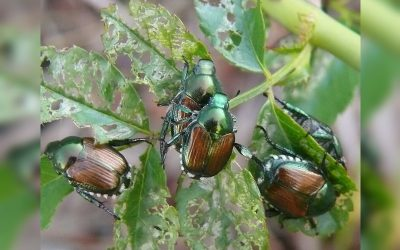 Escaravelho-japonês