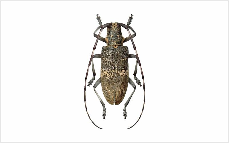 Escaravelho longicórneo – Vetor do Nemátodo-da-Madeira-do-Pinheiro